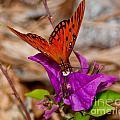 Butterfly On Bouganvilla by Stephen Whalen