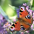 Butterfly On Buddleia by Gordon Auld