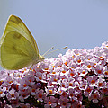 Butterfly On Buddleia by Tony Murtagh