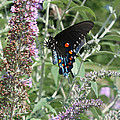 Butterfly On Bush by Val Isenhower