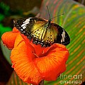 Butterfly On Canna Flower by Barbara Zahno
