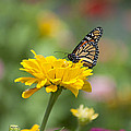 Butterfly On Carnation by Bill Cannon