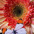 Butterfly On Daisy by Garry Gay