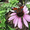 Butterfly On Echinacea by Helene U Taylor