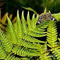 Butterfly On Fern by Amy Lucid