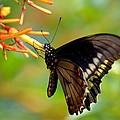 Butterfly On Firebush by Steve Griffin