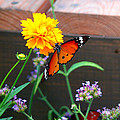 Butterfly On Flower by Kevin Jackson