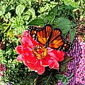 Butterfly On Flower by Tina Baxter