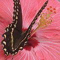 Butterfly On Hibiscus by Jamie Scott