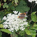 Butterfly On Lace by Robert Nickologianis