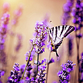 Butterfly On Lavender by Artmarie