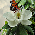 Butterfly On Magnolia Blossom by IM Spadecaller