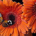 Butterfly On Orange Mums by Garry Gay