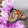 Butterfly On Phlox Flowers by Lori Tordsen