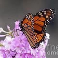 Butterfly On Phlox by Lori Tordsen