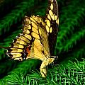 Butterfly On Pine by Mark Valentine