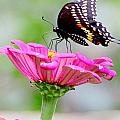 Butterfly On Pink Flower by Deb Buchanan