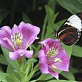 Butterfly On Pink Lillies by Richard Kitchen