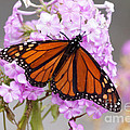 Butterfly On Pink Phlox by Lori Tordsen