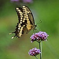 Butterfly On Purple Flower by Judith Russell-Tooth