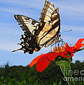 Butterfly On Red Daisy by Dora Sofia Caputo Photographic Design and Fine Art