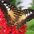 Butterfly On Red Flower by Dora Sofia Caputo Photographic Design and Fine Art