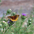 Butterfly On Thistle by Francie Davis