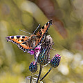 Butterfly On Tistle Sep by Leif Sohlman