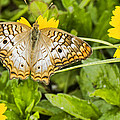 Butterfly On Yellow Flower by Don Durfee