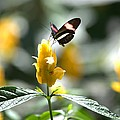 Butterfly On Yellow Flower - Square by Gordon Elwell