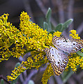 Butterfly On Yellow by Kenneth Albin