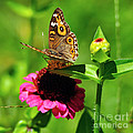 Butterfly On Zinnia Flower 2 by Kaye Menner
