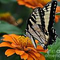 Butterfly On Zinnia by Kathy Flood
