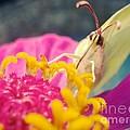 Butterfly On Zinnia by Linda De La Rosa