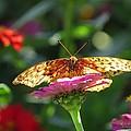 Fritillary Butterfly On Zinnia by MTBobbins Photography