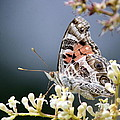 Butterfly - Painted Lady - Tasty Out Here by Travis Truelove