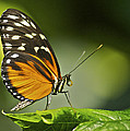 Butterfly Profile by Michael Peychich