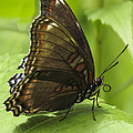 Butterfly Resting by Darleen Stry