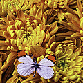 Butterfly Resting On Mums by Garry Gay