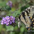 Butterfly by Robert Loe