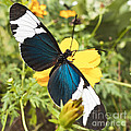 Butterfly Sara Longwing by Heiko Koehrer-Wagner