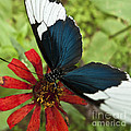 Butterfly Sara Longwing II by Heiko Koehrer-Wagner