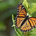 Butterfly Scene by Cheryl Baxter