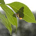 Butterfly Shadow by Sheri Lauren