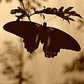 Butterfly Silhouette by Kristi Henigar
