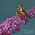 Butterfly by Simona Ghidini