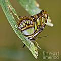 Butterfly Siproeta Stelenes by Heiko Koehrer-Wagner