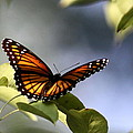 Butterfly -  Soaking Up The Sun by Travis Truelove