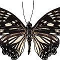 Butterfly Species Euripus Nyctelius Euploeoides  by Pablo Romero