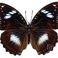 Butterfly Species Hypolimnas Bolina  by Pablo Romero
